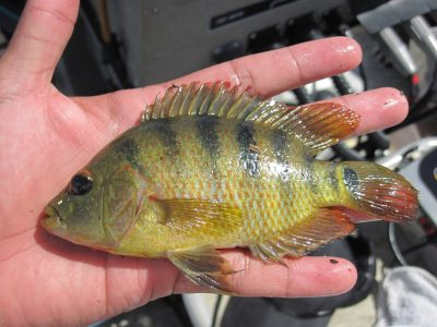 Non-native Mayan cichlid, one of the tropical species that suffered a major decline due to the extreme 2010 cold snap. Photo by Jennifer Rehage, Florida International University.
