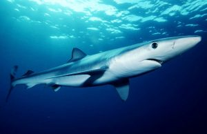 One-third of all shark species in fin trade are endangered