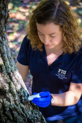 FIU student Alison Simon takes samples from a potentially infected avocado tree.