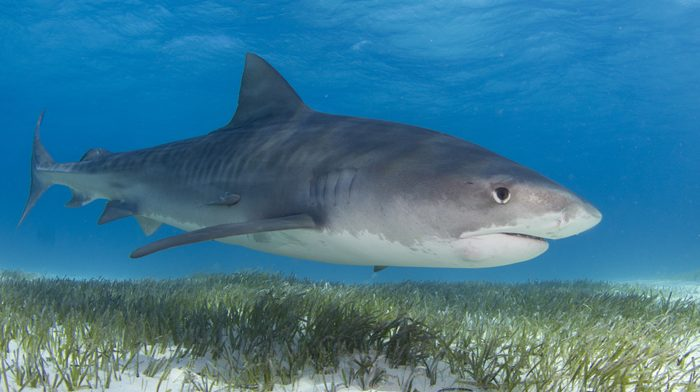 Sharks revealed as the great protectors of seagrass