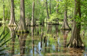 Massive Bald Cypress Trees in the swamp with reflection of trees on the calm water