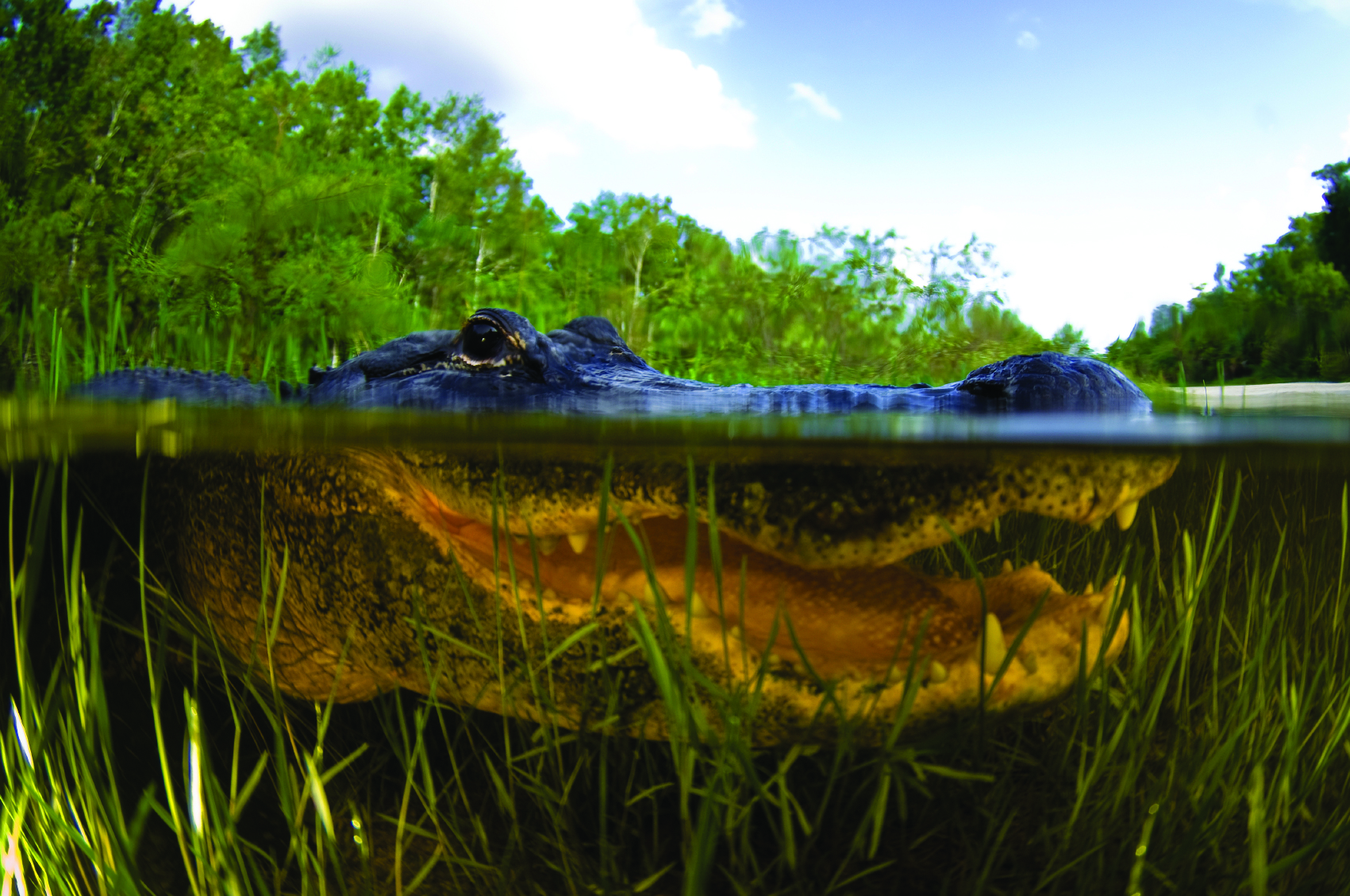 American Alligator in the Florida Everglades