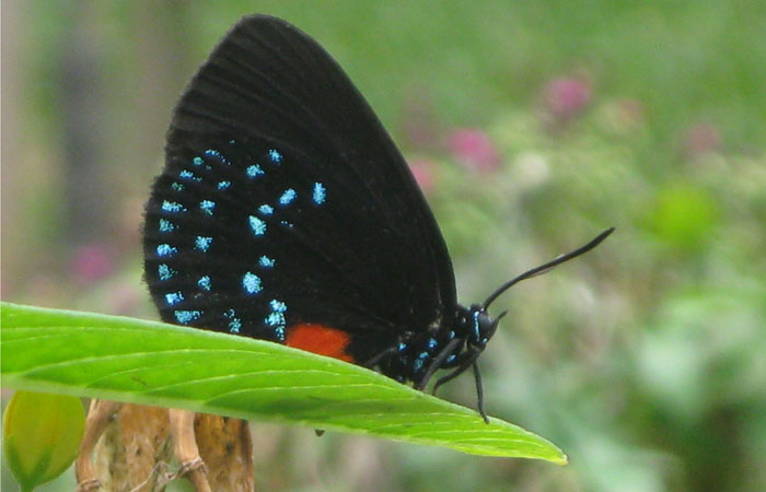 An Atala butterfly, once thought extinct in Florida, has found a new home in the gardens of FIU's Biscayne Bay Campus.