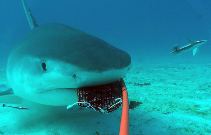 Historic shark census catches predators on camera