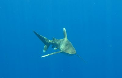 Shark biologist teams up with aerospace engineer to discover behaviors of oceanic whitetips