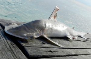 The animals in question resemble bonnethead sharks found throughout the Caribbean, but differences in DNA are leading scientists to believe they belong to a different species.