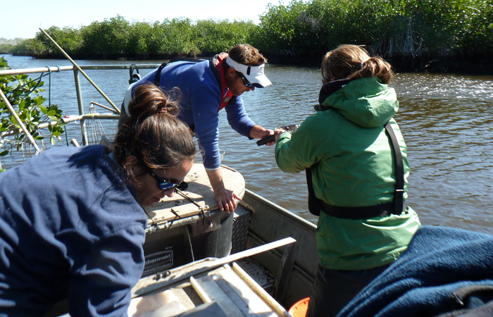 Jennifer Rehage (left) and Ross Boucek (center) count, weigh and measure fishes in the Everglades.