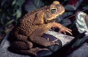 Rhinella marina, commonly known as Bufo Toad, Marine Toad, or Cane Toad.  Photo courtesy of ryanphotographic.com