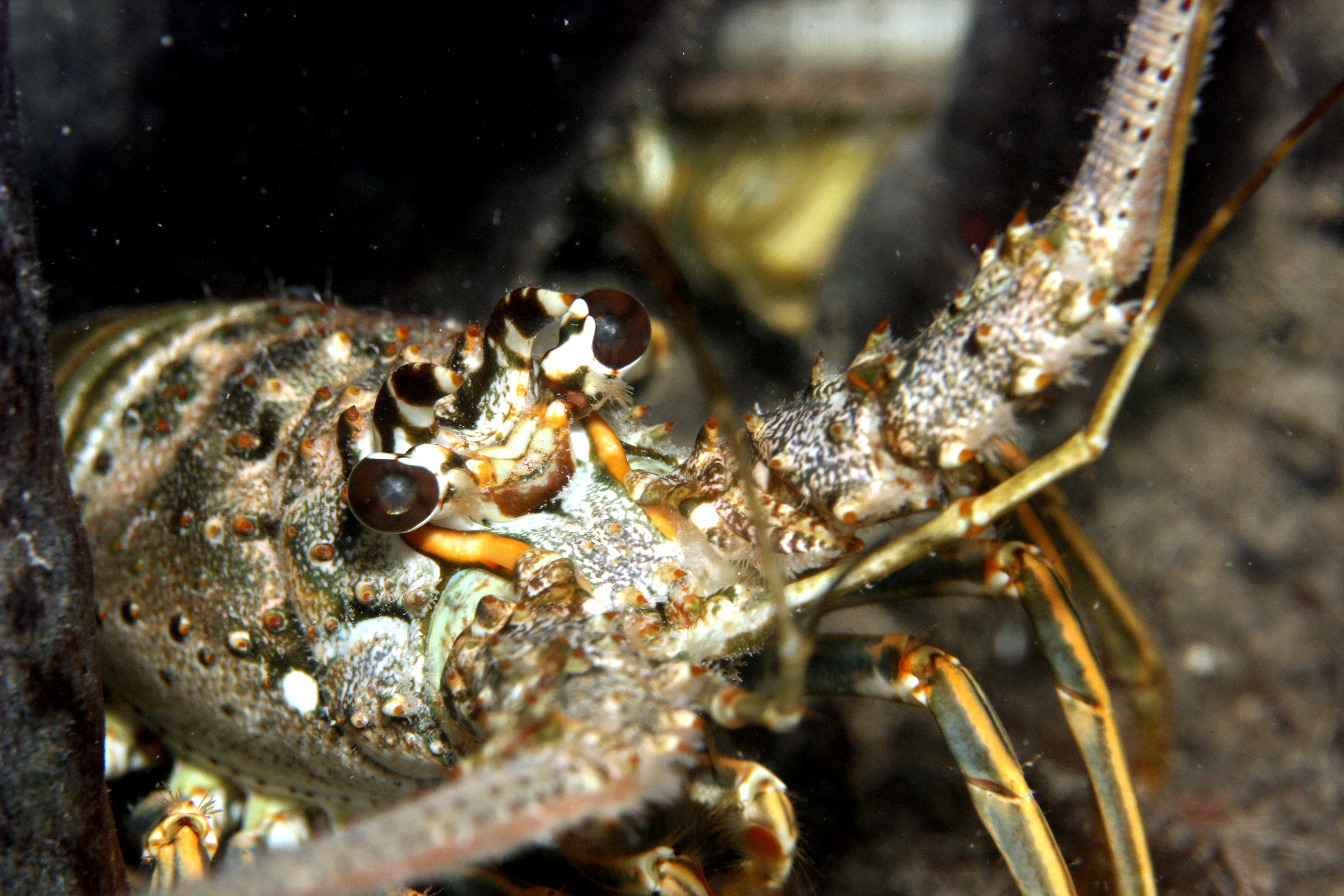 Caribbean spiny lobster Photo courtesy of CRUSTOMICS Lab
