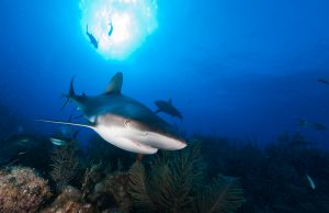 Caribbean reef sharks patrol the reefs in great numbers off Grand Cayman. While shark fishing is allowed here, there seems to be a high abundance of sharks which is rare of the Caribbean.
