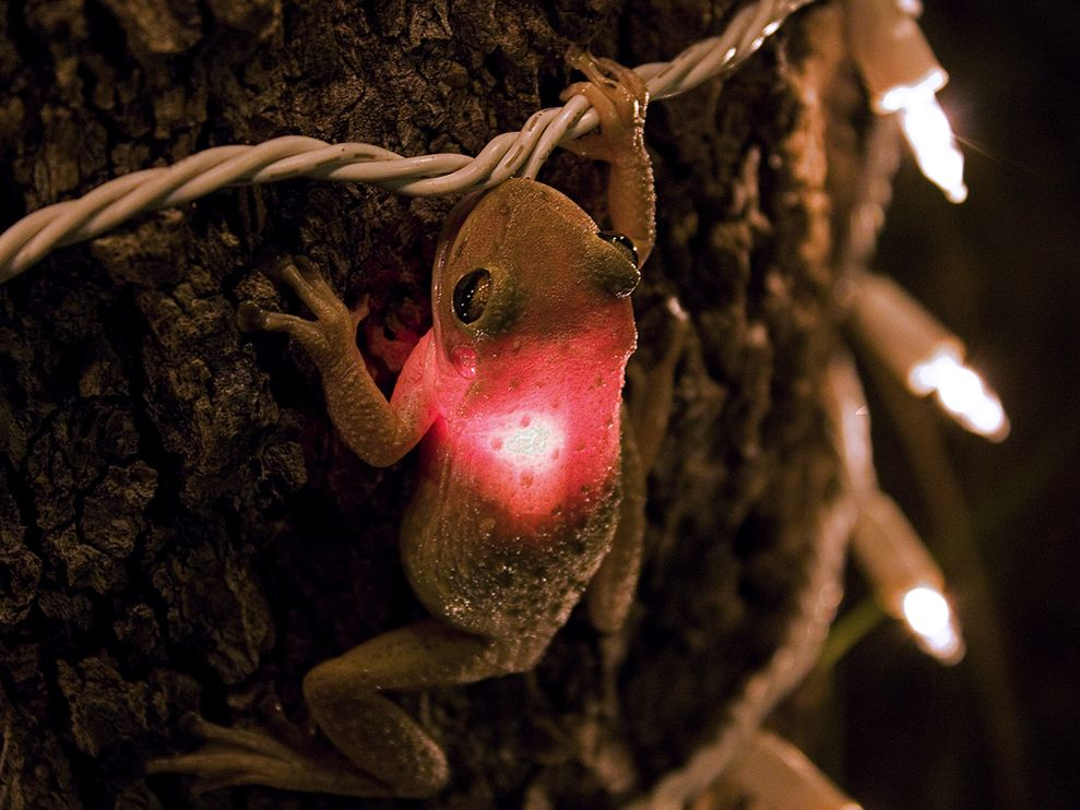A Cuban tree frog swallows a Christmas light that looks like one of its insect prey.