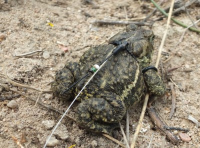 The endangered Wyoming toad can grow up to 2.2 inches long. The tracking device used is the length of a U.S. quarter dollar. The device and harness used to track the toad weighs no more than 0.8 grams.