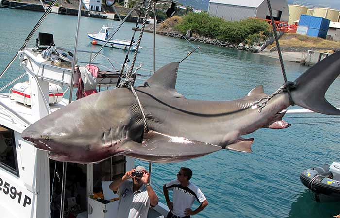 Officials on Réunion Island in the Western Indian Ocean have attempted to curb incidents of shark bites by using various methods including culling sharks, which researchers say are not particularly effective.