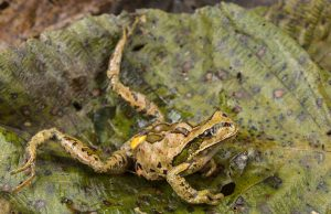 This frog is dying of a heart attack because of chytrid fungus in its environment in the high Andes.
