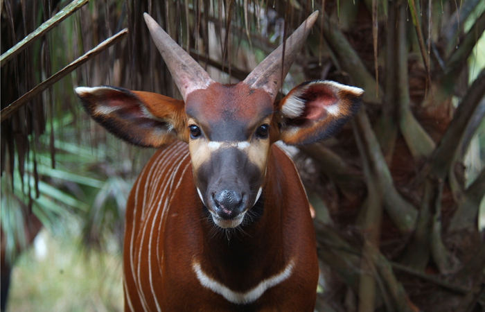 Ambitious conservation projects are currently under way for the East African bongo (pictured above), sharks, Amazon parrots and many others at the FIU Tropical Conservation Institute. Photo by: Paul Reillo, Ph.D.