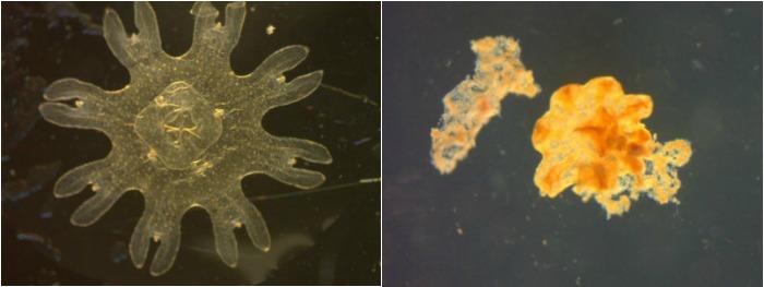FI jellyfish