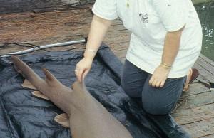Fall 1998 Shark