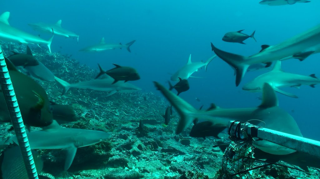 Picture of Jarvis Reef in the Pacific Ocean taken by a BRUV deployed by the Australian team with FinPrint. To date, this picture holds the record of the most sharks—12 in total—in one frame.