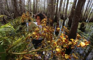 Ph.D. student Haydee Borrero studying orchids in Everglades National Park.