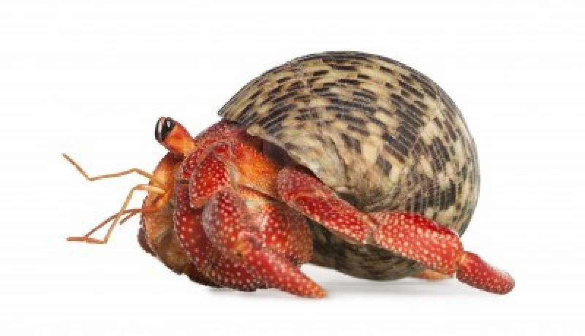 Hermit crab species range in size and shape, from species a few millimeters long to some the size of a coconut.