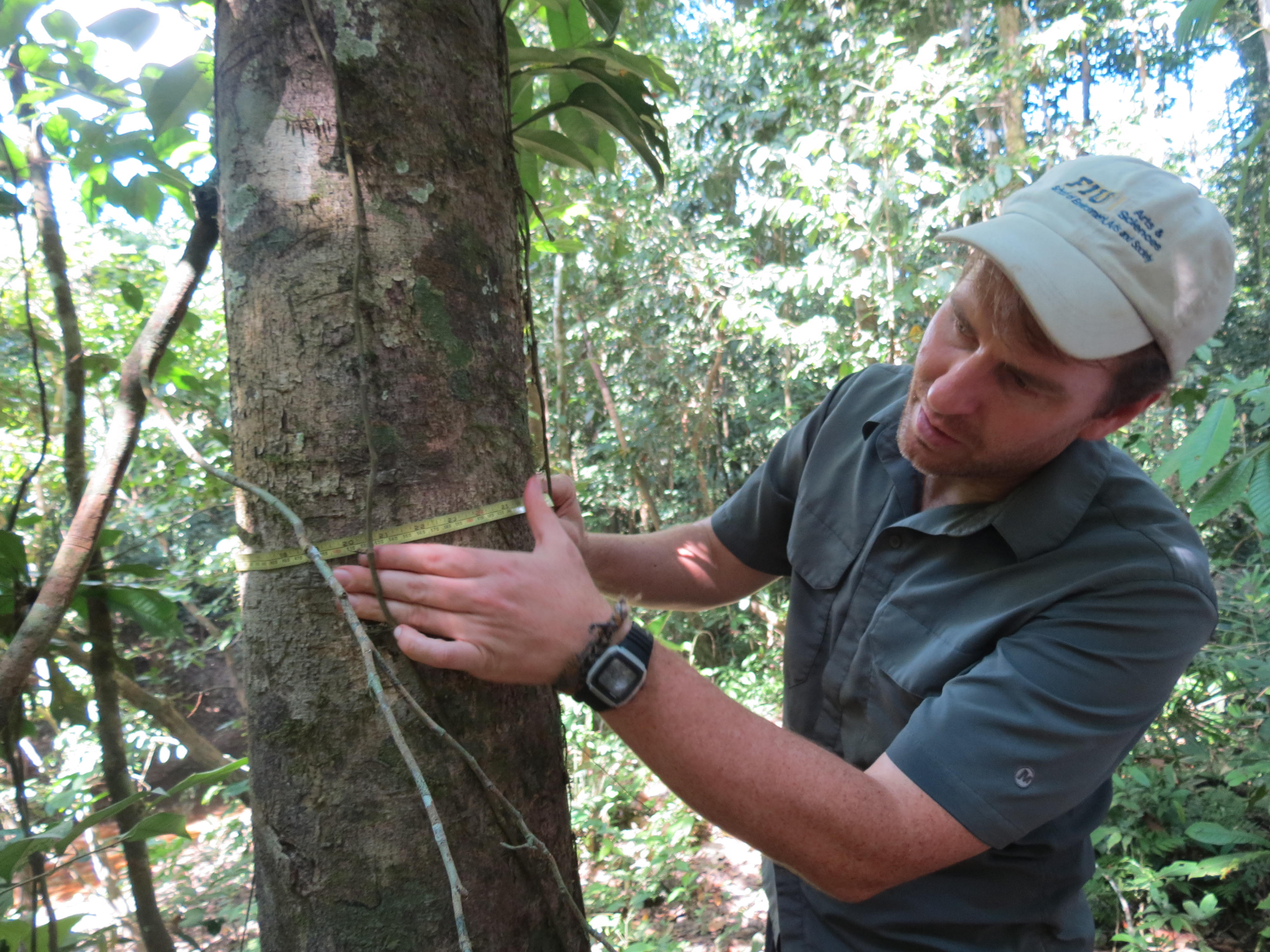 Kenneth Feeley measures the diameter of a tree in the lowland Amazonian rainforest.