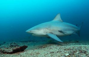 A roaming bull shark. Courtesy: Hendrik Sauvignet.