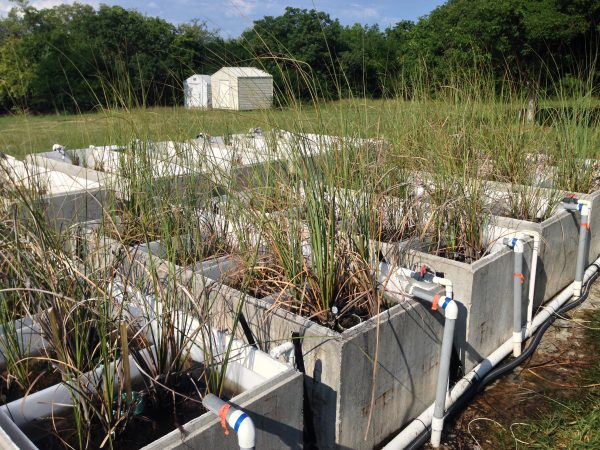 Researchers tested the effects of elevated salinity and increased phosphorus on sawgrasses to see how marshes would respond to future sea level rise.