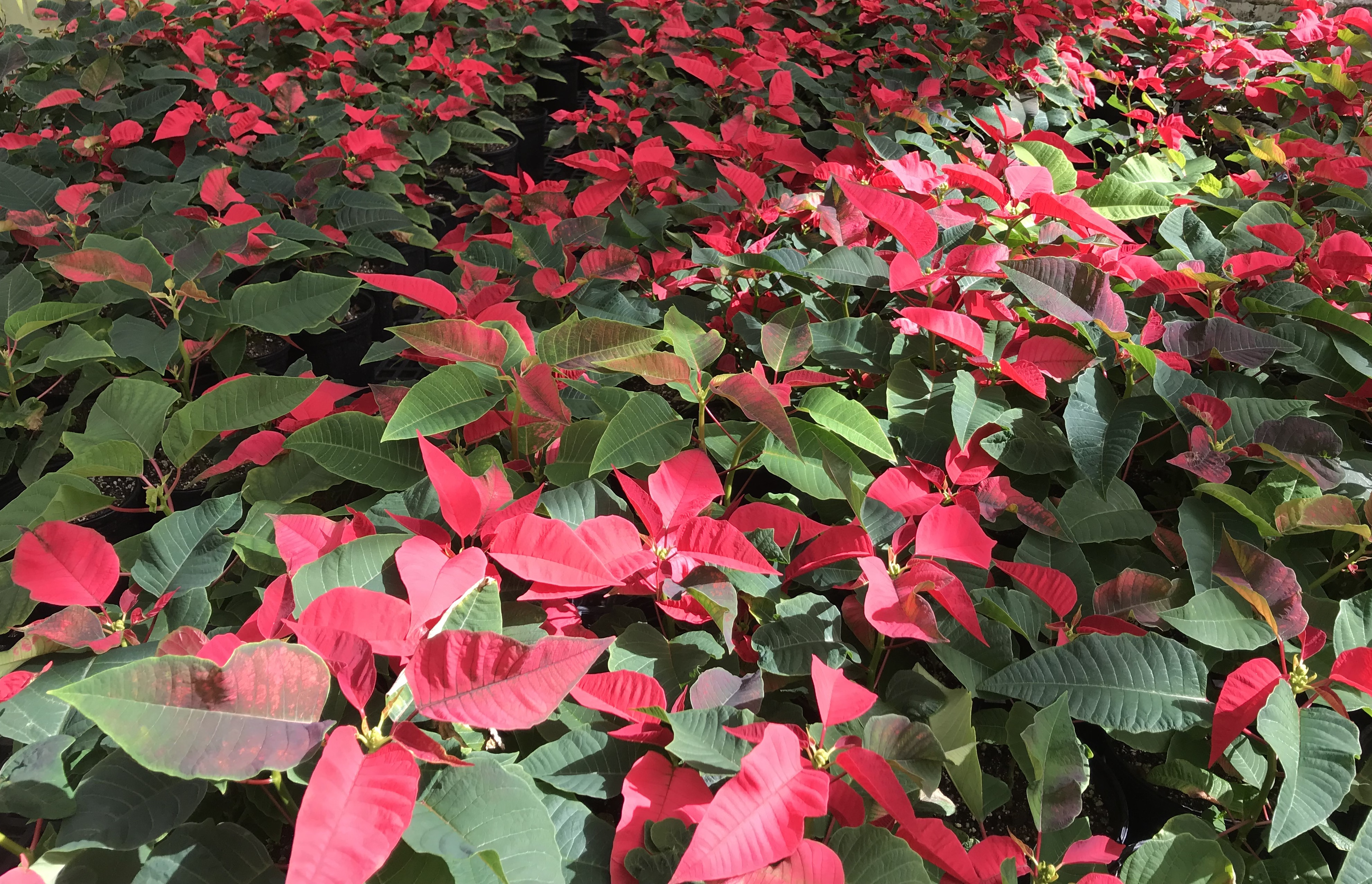 how to take care of holiday poinsettias. Black Bedroom Furniture Sets. Home Design Ideas