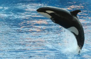 Global indigenous student group hosts event to honor killer whales