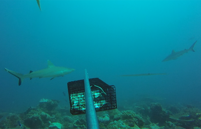 Two gray reef sharks encounter a baited remote underwater video camera deployed by FIU marine scientist Jeremy Kiszka in the waters off Madagascar.