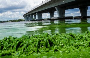 Water full of algae laps along the Sewell's Point shore on the St. Lucie River under an Ocean Boulevard bridge, Monday, June 27, 2016.  (Richard Graulich/The Palm Beach Post via AP)