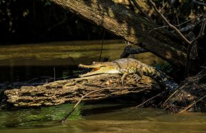 An adult Central African slender-snouted crocodile basks on a log.
