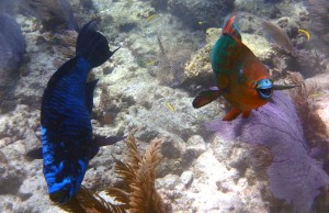 Midnight and rainbow parrotfishes are among the many herbivores helping to preserve Caribbean coral reefs.