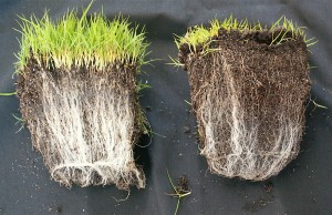 The plant on the left has a network of mycorrhizal fungi around the roots, while the one on the right does not. The fungi forms a mutually beneficial relationship with the plant, ts resistance to drought and disease. In exchange, the plant feeds the fungi liquid carbon to generate more nutrients. Photo by soilcarboniscool.org