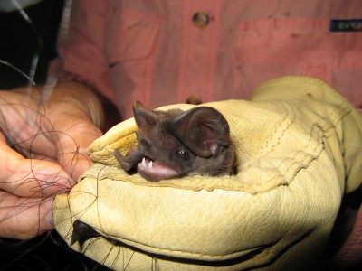 The Florida bonneted bat has large broad ears, which project forward over the eyes and are joined at the midline of the head. This feature distinguishes it from the smaller Brazilian free-tailed bat. Photo credit – Kathleen Smith, Florida Fish and Wildlife Conservation Commission.
