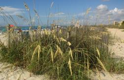 Sea oats are common along the U.S. east coast and Gulf Coast.