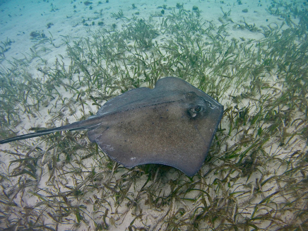 Belize to create world's first ray sanctuary, guided by Global FinPrint