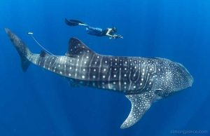 A researcher swims near a whale shark off the coast of Nosy Be island near Madagascar. Courtesy Simon J. Pierce.
