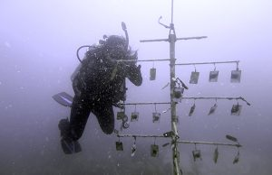 FIU biology student Valeria Paz helps conduct research on coral reef restoration.
