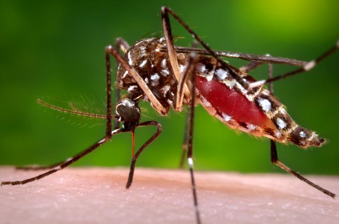 Aedes aegypti can spread  the Zika virus