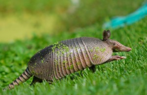 Armadillos are the likely cause of an uptick in leprosy cases in Florida