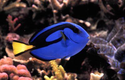 Paracanthurus hepatus (Palette surgeonfish or blue tang).