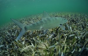 It's time to ratchet up bonefish conservation, FIU scientists say