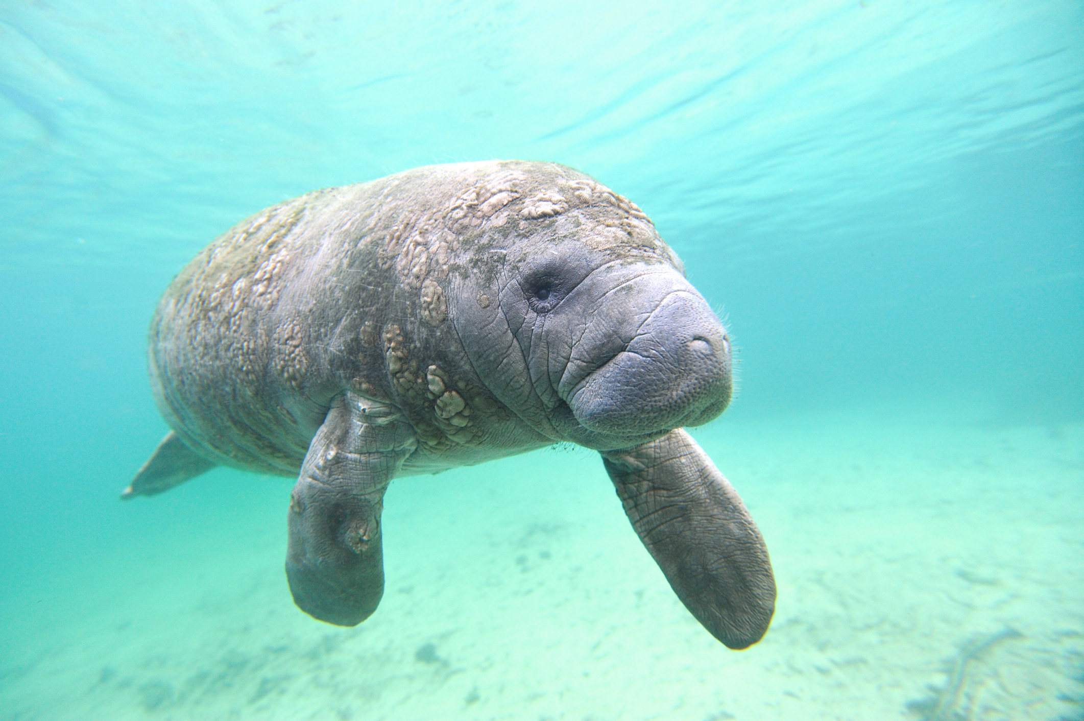 Treatment being developed for manatees poisoned by red tide