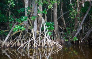 Florida's mangroves move inland to keep up with salt water intrusion caused by sea level rise.