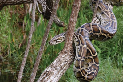Burmese Python Everglades National Park Ranger Larry Perez FIU Alumnus