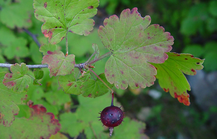 Ribes cynosbati, a North American species of gooseberry similar to the Miccosukee gooseberry, is found widespread across eastern North America.