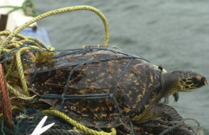 A hawksbill turtle is captured off Madagascar.  Photo by Y. Razafindrakoto